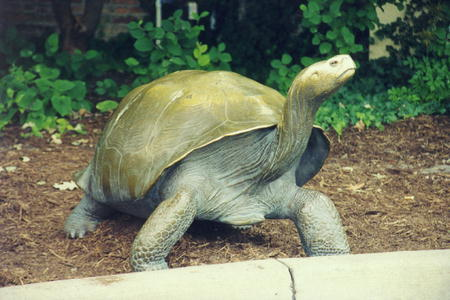 00429 Galapagos Turtle.jpg